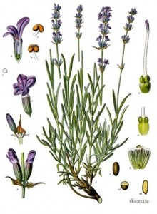 Herbs and Flowers used in 17th Century Perfumes